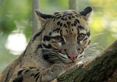 clouded leopard Duisburg 094A0925 (j.a.kok) Tags: leopard cloudedleopard luipaard panter panther nevelpanter neofelisnebulosa asia azie kat cat zoogdier dier mammal predator duisburg