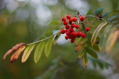 Autumn (viking__77) Tags: 2018 55mmf18fe a7iii autumn england lound mountainash nottinghamshire rowan september sony sony55mmf18fe sonya7iii sonyzeiss55mmf18fe sorbusaucuparia zeisssonnar55mmf18fe countryside footpath redberries tree