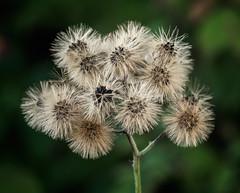 Gone to seed (billd_48) Tags: oh summer ohio tcsnp tinkerscreekstatenaturepreserve naturemacro plants seeds