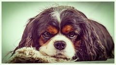 Lilly (Pepenera) Tags: dog dogs cane cani cavalier