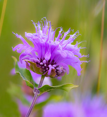 Wild-flower (Robert R Grove 2) Tags: wildflower pink nature mountains canada
