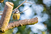 Garden Bird-1079