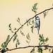 Blaumeise an Heckenrose
