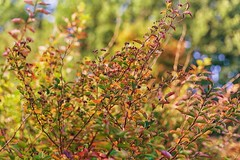 September Days (marikavanhala) Tags: autumn autumncolours fall colorful nature leaves plant finland colourful color colour garden 50mm