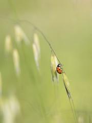Sur la corde raide *---- ° (Titole) Tags: coccinelle ladybug ladybird titole nicolefaton grass
