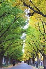 Icho Namiki (arbivi) Tags: autumn fall foliage koyo ginkgo tree green yellow ichonamiki meijijingugaien tokyo japan canon 60d tamron arbivi raymondviloria