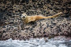 Grey Seal (redape99_) Tags: whalewatching coast cork ireland mammal nature sea seal tour wildlife