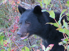 Black bear (Shelley Penner) Tags: bear black mammal ursus portrait vancouverisland