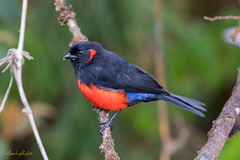 Scarlet-bellied Mountain-Tanager (Anisognathus igniventris) (Frank Shufelt) Tags: scarletbelliedmountaintanager anisognathusigniventris thraupidae tanagers passeriformes songbirds aves birds wildlife manizales caldas colombia southamerica july2018 20180723 4963