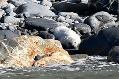 Seal pup amongst the rocks (karen leah) Tags: seal atlanticgreyseal cardiganbay wildlife nature outdoors sea pup pretty beautiful raresighting