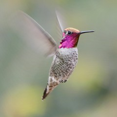 "Soaring in Ramona, California on October 13, 2018 (Ramona Pioneer Girl) Tags: sundaylights anna's hummingbird anna'shummingbird annas annashummingbird birding birdinginsandiegocounty birdingincalifornia ramonacalifornia california october2018 2018 fall2018 green red pink buffy light tan nature naturephotography backyard gardening backyardbirding bird panasonic lumix camera photograph photography lens f28 picture pictures kodak ""kodak moment"" kodakmoment potd photo day trend trending current flickr natural moment moments candid usa water sky street historic town country east county clouds sun fun hobby interest interests ramona photooftheday photographs fz300"