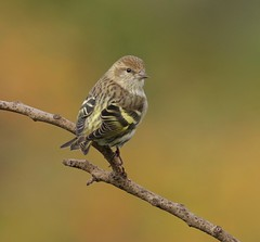 """This time, I brought my posse..."" (Slow Turning) Tags: spinuspinus pinesiskin bird perched tree branch stick lookback autumn southernontario canada"
