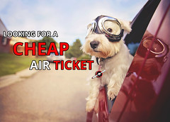 Looking for cheap air ticket (farenexusnexus) Tags: animal authentic auto background car city creative cute different dog doggy drive ears fast filter fresh fun funny furry goggles happy head hound instagram looking neighborhood outdoor pedigree pet portrait puppy retro ride road summer terrier toned travel trip unique urban vacation vehicle vintage westhighlandterrier westie white window yorkshire young