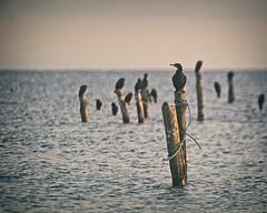 Water Bird Bokeh - Fehmarn - Schleswig-Holstein - Germany (torstenbehrens) Tags: water bird bokeh fehmarn schleswigholstein germany olympus penf m42f8500mm zhongyi objektiv turbo ii efm43 wecellent m42ef adapter
