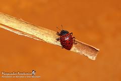 Erotylina connectens (Crotch, 1876) (Marquinhos Aventureiro) Tags: besouro erotylina connectens beetle wildlife vida selvagem natureza floresta brasil brazil hx400 marquinhos aventureiro marquinhosaventureiro erotylidae