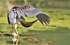 Under hood Inspection (Jeannine St-Amour Photography) Tags: bird heron greenheron nature wildlife