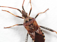 EOS 7D Mark II_075203 (Gertjan Kamsteeg) Tags: animal invertebrate bug macro insect truebug heteropteran heteroptera coreidae westernconiferseedbug leptoglossusoccidentalis