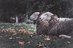 dos (PenelopeEfstop) Tags: 2018 autumn sheep wool outdoor historical blackcreek farm antique fall farmanimal animal