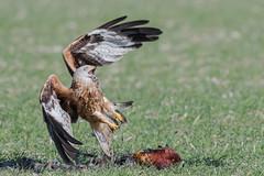 Red Kite feeding Feb 2018 (jgsnow) Tags: purple bird raptor kite redkite feeding