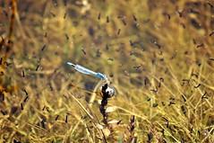 DSC_2644 (2) (parmrussrap) Tags: d90 nikon odonata zygoptera damselflies mosquitoes larvae aquaticinsects