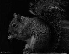 In the Black (John Neziol) Tags: jrneziolphotography portrait animal animalphotography blackwhite monochrome squirrel greysquirrel nikon brantford wildlife nature nikondslr nikoncamera nikond80 naturallight photography outdoor squirreltail closeup cute lowkey