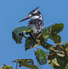 Pied Kingfisher (Aubrey Stoll) Tags: pied kingfisher black white bird resting leaves decayed blue sky africa south kosi bay trees nature safari outdoors aves kwazulu natal travel feathers sitting