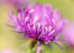Aster (mclcbooks) Tags: flower flowers floral macro closeup aster asters denverbotanicgardens colorado zerenestacker focusstacking