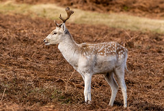 chunky (westoncfoto) Tags: deerpark fallow red parkland autumn