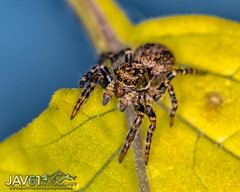 Male Euophrys frontalis (jumping spider)-2668 (George Vittman) Tags: hunter spider salticidae nikonpassion naturephotography wildlifephotography jav61photography jav61 fantasticnature