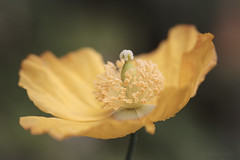Poppy (shawn~white) Tags: canon6d macro plant tyglyn uk westwales floral flower gold poppy yellow