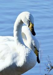 Whooper Swan (merseymouse) Tags: whooperswan wildlife nature swans