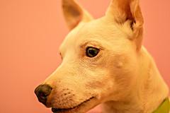 my dog (leandro.cilia90) Tags: milo jackrussel dog russel terrier animal dogs italia italian sicily sicilia