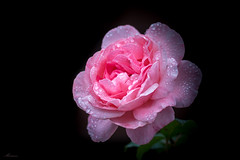Long hot summer seems over (Mariannevanderwesten) Tags: rose roos pink roze bloem canon nature natuur droplets druppels