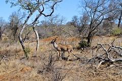 DSC_6267 (Бенуа Брэгонов) Tags: afriquedusud africa travel voyage safari krugernationalpark southafrica landscape brousse bush mpumalanga antilope antelope