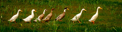All in a row (lizcaldwell72) Tags: newzealand taniwha ducks hawkesbay