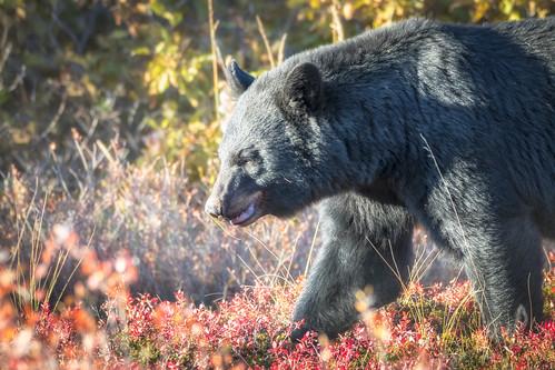 Very serious bear