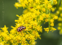 Lady Bug (LanaScape Photos) Tags: typical alt ladybug insect macro summer ohio woods yellow red black