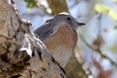 """Tiny Western Bluebird on September 22, 2018 (Ramona Pioneer Girl) Tags: perched perchedbird september2018 fall2018 birdinginsoutherncalifornia birdingincalifornia birdinginsandiego birding bluebird westernbluebird 500 views panasonic lumix camera photograph photography lens f28 picture pictures kodak """"kodak moment"""" kodakmoment potd photo day trend trending current flickr nature natural moment moments candid usa 2018 water sky street historic town country east county clouds sun fun hobby interest interests ramona california photooftheday photographs fz300"""