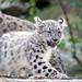 Snow Leopard Kitten Stepping
