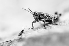 29/30 2017/09 (halagabor) Tags: manualfocus macro macroworld macroshot closeup close tiny small insect grasshopper bnw blackandwhite monochrome nature naturelove natural alive living outdoor outside garden animal
