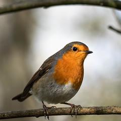 Robin (barbaralansdell) Tags: lapings greattit chaffinch marshtit pintail shovelerduck egret kingfisher pheasants goosegander snipe heron redshankcormorant rat marshharrier dunnock nuthatch robin