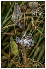 Insects on Milkweed _DSC7017 photoshop NIK SR edit © (nkatesphotography) Tags: bombayhookwildliferefuge smyrnade nikond5 tamron150600mmg2 nikonsu800 nikonsb5000speedlight flowers gardens nature macro closeupphotography butterflies