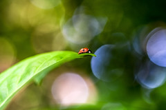 lady bugged (Paul wrights reserved) Tags: ladybug bug bugs bugslife insect insects leaf bokeh bokehphotography bokehballs bokehlicious beautiful nature naturephotography