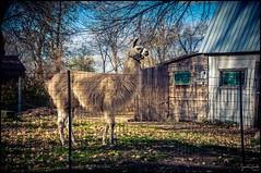 Son altesse Monsieur Alpaga / His highness Sir Alpaca / (Jeanluc Verville) Tags: alpaga alpaca