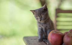 Kika (01) (Vlado Ferenčić) Tags: kitty kittens catsdogs vladoferencic cats vladimirferencic animals animalplanet klenovnik zagorje hrvatska hrvatskozagorje croatia nikond600 nikkor8518