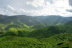 Tea Plantation (bmzmarnickam) Tags: tea plantation cameron highlands malaysia