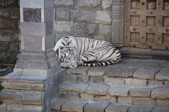 008A8229 (Hallet-Photography) Tags: pairi daiza tigre blanc tigreblanc white tiger whitetiger