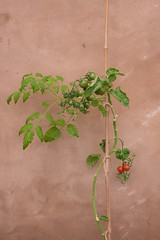 A few more to ripen (photoart33) Tags: tomatoes plants greenhouse