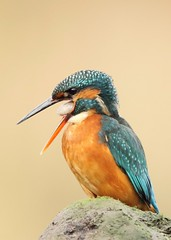 Female kingfisher coughing up a pellet (bilska.anna) Tags: