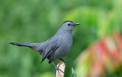 Gray Catbird. (mandokid1) Tags: canon 1dx ef600mm11 birds
